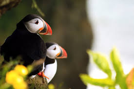 top facts about puffins hey iceland