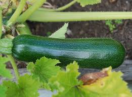 tips for growing zucchini and planting zucchini