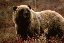 grizzly bear wikipedia