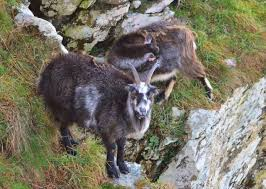Billy Goat Meme - half of wild herd of billy goats in lynton devon to be culled