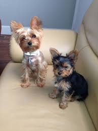 haircuts for yorkies short haircuts for yorkies grand oganaija com