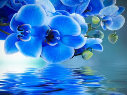 blue orchids blue orchids reflection other abstract background wallpapers