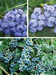 38 best blueberries images on pinterest blueberries blueberry