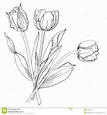 drawn tulip tulip bouquet pencil and in color drawn tulip tulip