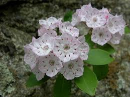 kalmia latifolia kalmia latifolia is part of the blueberry family aka mountain