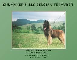 belgian sheepdog ohio shumaker hills belgian tervuren