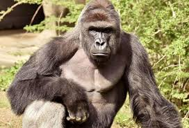 Clemson Memes - clemson harambe memes are racist promote rape culture