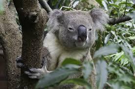 high koala meme