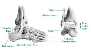 Talus Ligaments Orthopedic Center Of St Louis