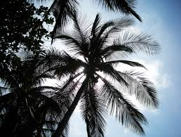palm tree silhouette free stock photo public domain pictures