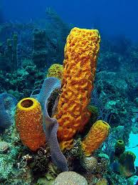 Azure Vase Sponge Facts Underwater Universe On Twitter