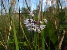 mail order native plants allium cernuum nodding wild onion u2013 natural communities llc