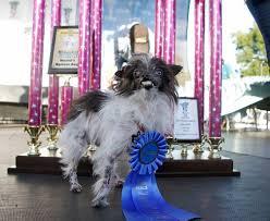 affenpinscher calgary photos world u0027s ugliest dogs 2014 version