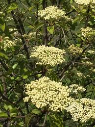 Flowers Of The Month List - tree of the month viburnums