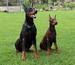 affenpinscher vs brussels griffon dog breed stereotypes myth vs reality u2013 animal hearted apparel