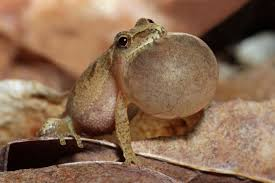 fun facts about spring peepers the tiny frog with a big sound