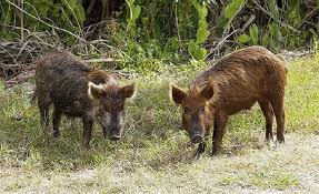 Arkansas wild animals images Wild arkansas razorback hogs pixdaus jpg