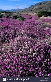 desert carpeted with sand verbena wildflowers anza borrego desert