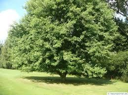 silver maple tree sale 80 savings buy grower direct