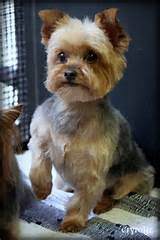 haircuts for yorkies yorkie hairstyles pictures