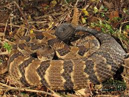 24 best snakes of southern indiana images on pinterest snakes
