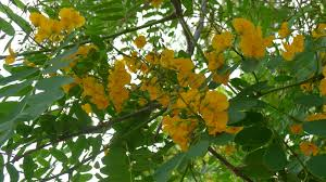 queensland native plants pride of bolivia shame of queensland or how civic weed trees