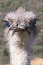 20 best ostrich images on pinterest ostriches animals and wild
