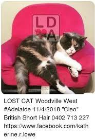 Lost Cat Meme - lost cat woodville west adelaide 1142018 cleo british short hair