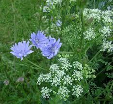 native prairie plants illinois prairie rose u0027s garden wildflower and other wild things wednesday