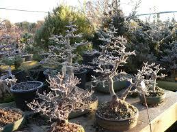 maple bonsai care youtube