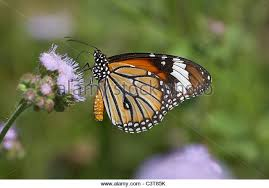 striped tiger butterfly stock photos striped tiger butterfly stock