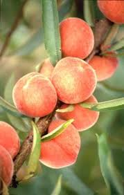 Tropical Fruit Tree Nursery - buy fruit trees online fruit tree nursery tropical fruits