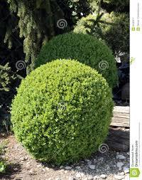 Decorative Shrubs Boxwood Round Shape Stock Photo Image 59330571