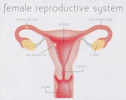Human Anatomy Cervix Reproductive Archives Page 9 Of 12 Human Anatomy Charts