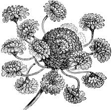hens and chickens daisy bellis perennis prolifera clipart etc