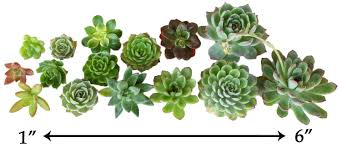succelents cuttings wedding rosette succulents wedding succulent favors
