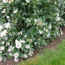 native hedging plants viburnum tinus hedge plants viburnum tinus u0027eve price u0027 hedging