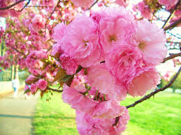 Cherry Blossom Facts by Amazon Com Kwanzan Cherry Tree Double Flowers 3 Year Live