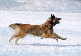belgian sheepdog origin belgian tervuren dog breed gallery