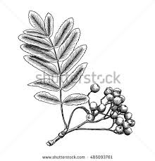 detailed precise ink drawing rowan rowanberry stock vector