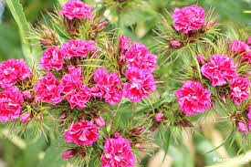 dianthus flower dianthus flowers how to grow and care dianthus plants plantopedia