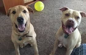 american pitbull terrier gray rouxe awesome american pitbull terrier seeks loving family with