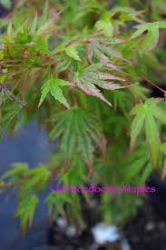 japanese maples mendocino maples nursery