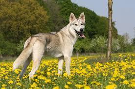 belgian shepherd vs husky list of dog crossbreeds wikipedia