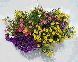 hanging flowers 10 most beautiful flowers to grow in hanging basket enkiverywell
