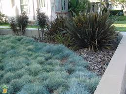 blue fescue grass for sale the planting tree