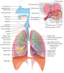 Nose Anatomy And Physiology 16 Respiratory System Anatomy And Physiology