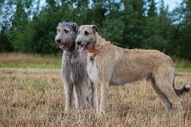 afghan hound ireland irish wolfhound dog breed information puppies u0026 pictures