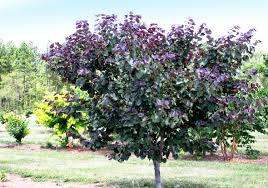 Heat Tolerant Plants Merlot Redbud Is Drought And Heat Tolerant With Wine Colored