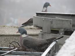 How To Get Rid Of Pigeons On My Roof by Wood Pigeon Nests Ask An Expert Wildlife The Rspb Community